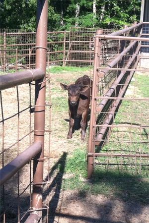 Brangus heifer calf