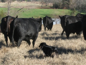 Kodi moving cows