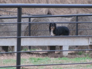Kodi is making sure the yearling bulls didn't leave any feed
