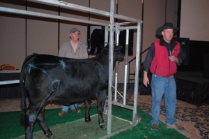 Dr. Tommy Shields uses a Brangus heifer in his live animal evaluation demonstration